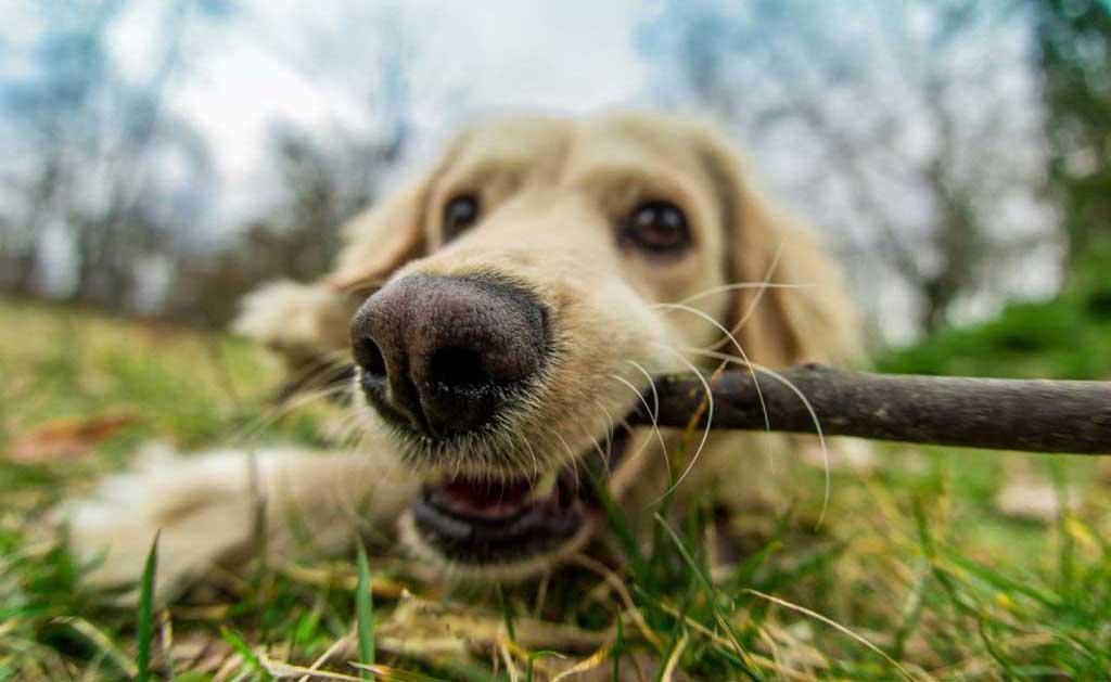 D.A.P : Feromoner För Hundar