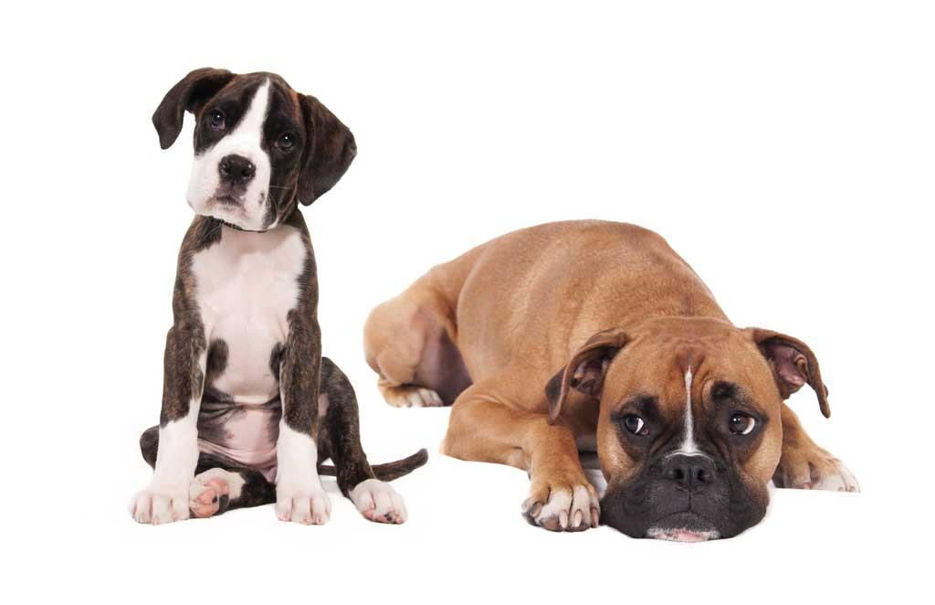 Hur gammal är hunden när han är vuxen? Mentalt? Rent fysiskt?