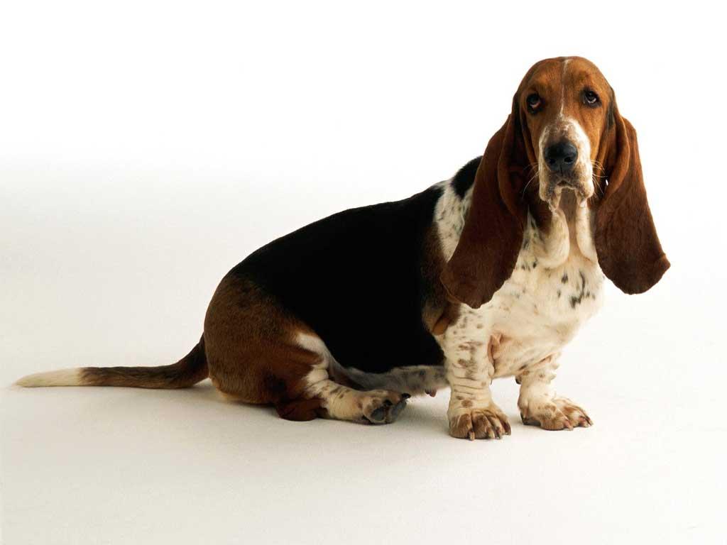 Min vän Orvar (Basset hound)
